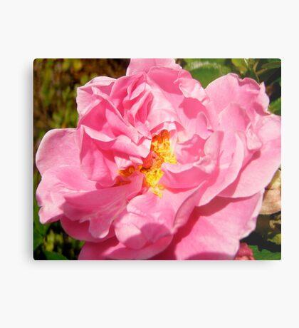 Governor General's rose 10 Metal Print