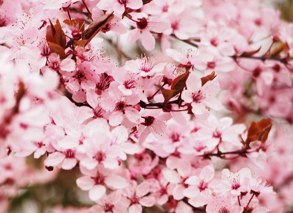 Cherry blossom by franceslewis