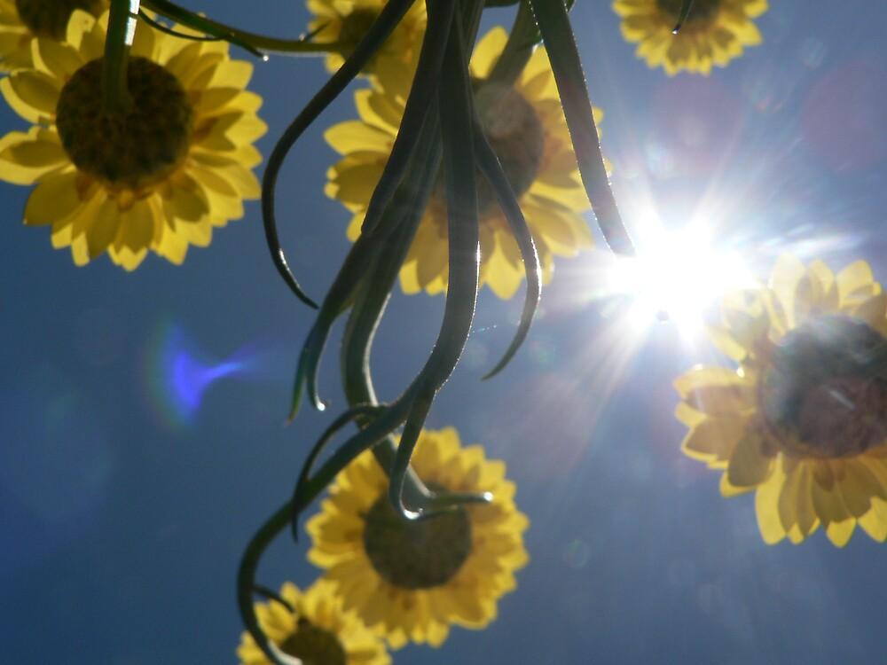 Sun Daisy by Samantha Field