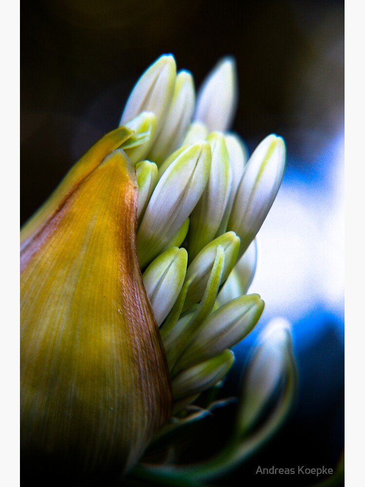 Agapanthus breaking free by mistered