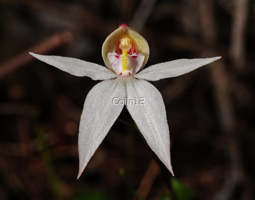 Adenochilus nortonii by Colin12
