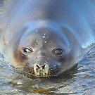 Antarctic Fur Seal by Carole-Anne