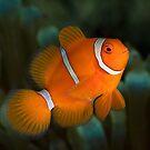 Spine-cheek Anemonefish by Ross Gudgeon