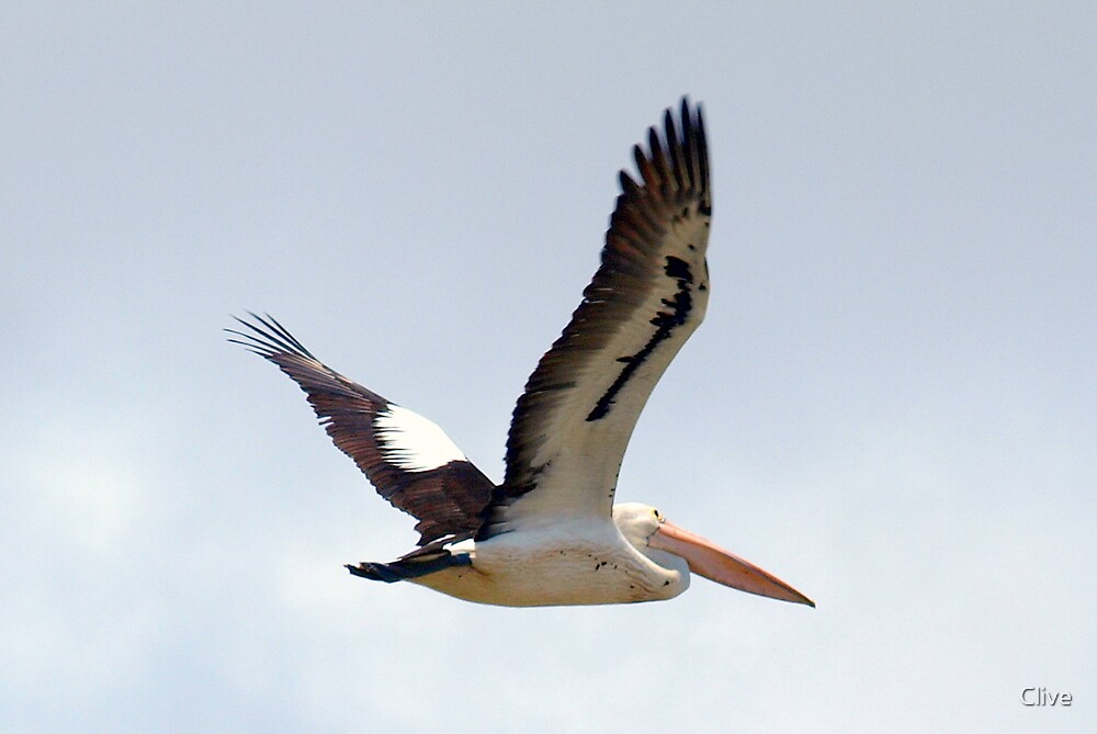 Pelican in Flight by Clive