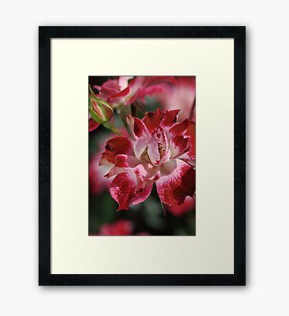 Red and White Rose Framed Print