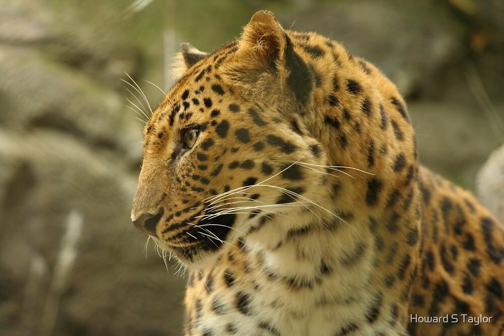 Amur Leopard by Howard S Taylor