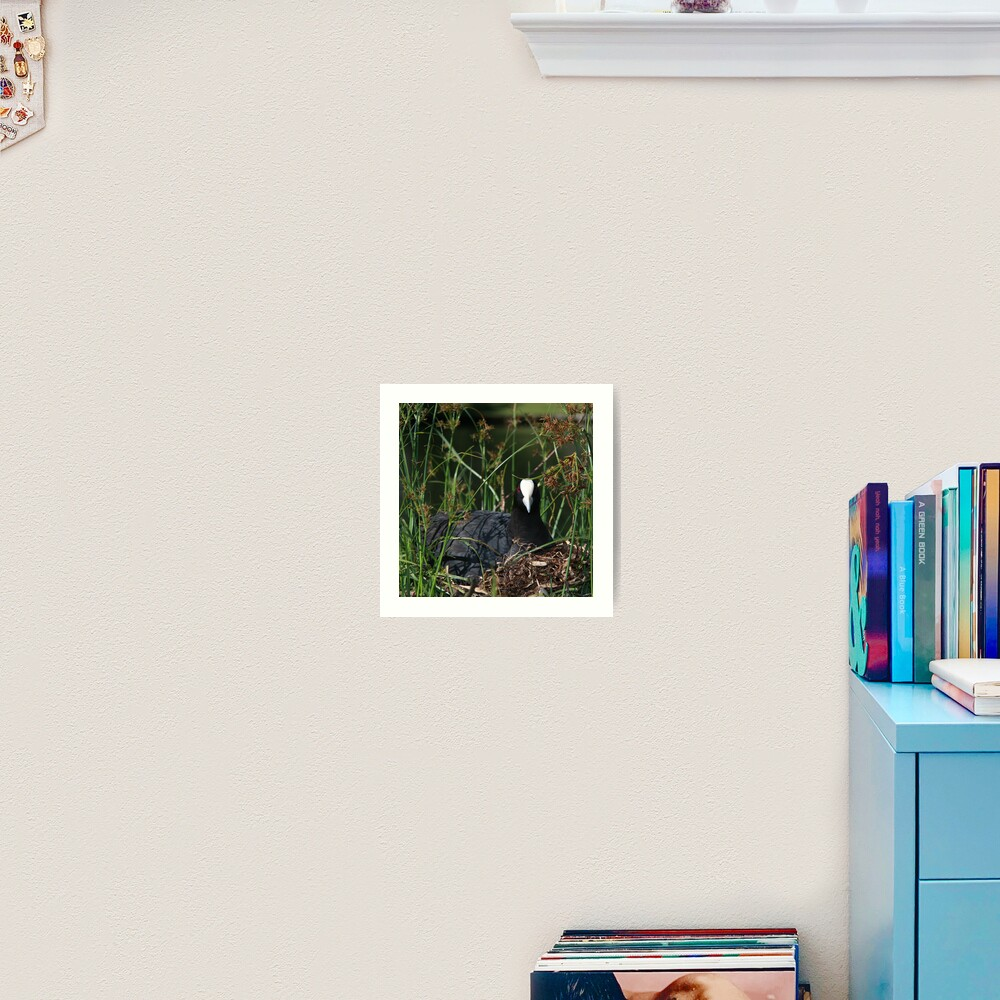 Eurasian Coot sitting on its nest Art Print
