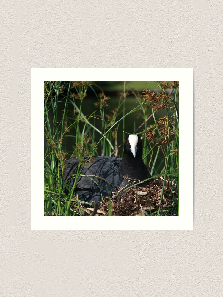 Alternate view of Eurasian Coot sitting on its nest Art Print