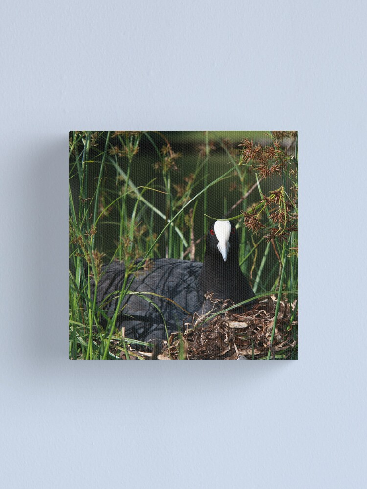 Alternate view of Eurasian Coot sitting on its nest Canvas Print