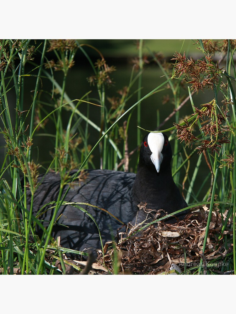 Eurasian Coot sitting on its nest by mistered