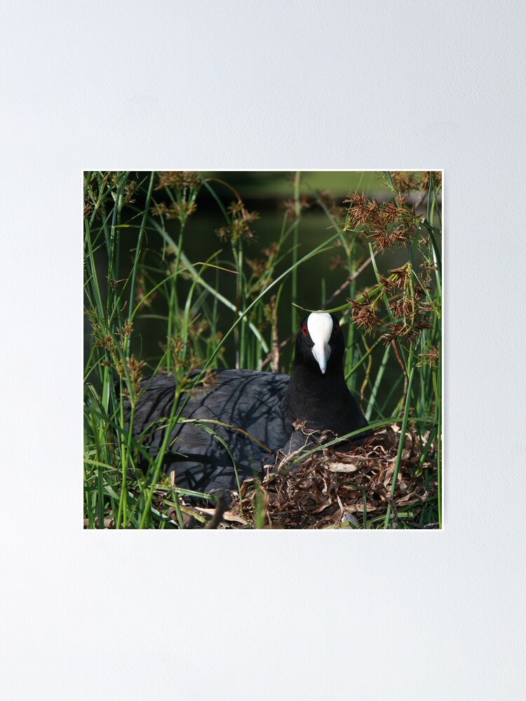 Alternate view of Eurasian Coot sitting on its nest Poster