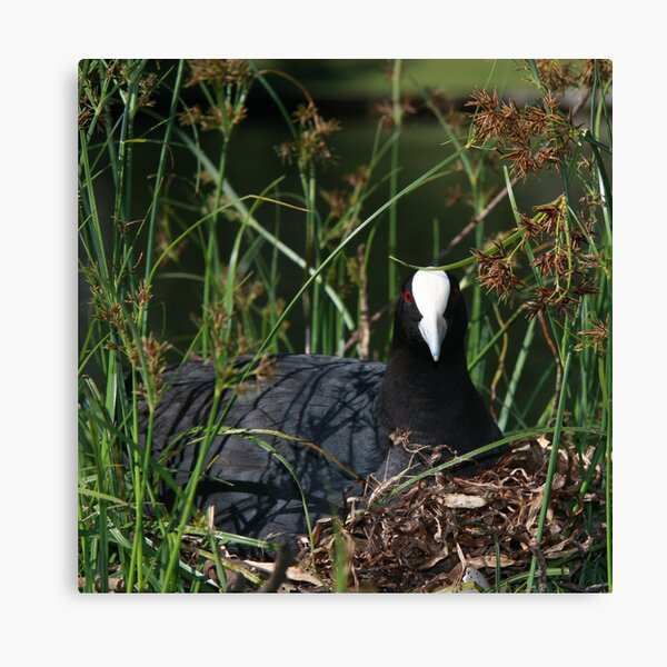 Eurasian Coot sitting on its nest Canvas Print