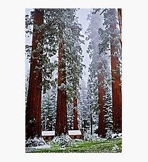 Sequoias in snowfall Photographic Print