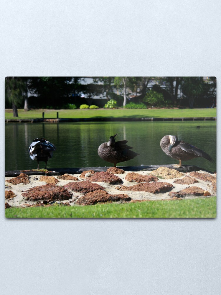 Alternate view of Ducks standing in a line Metal Print