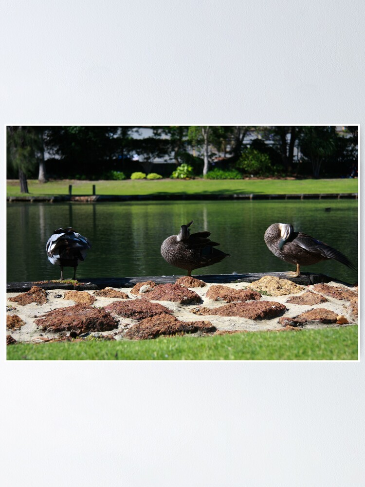 Alternate view of Ducks standing in a line Poster