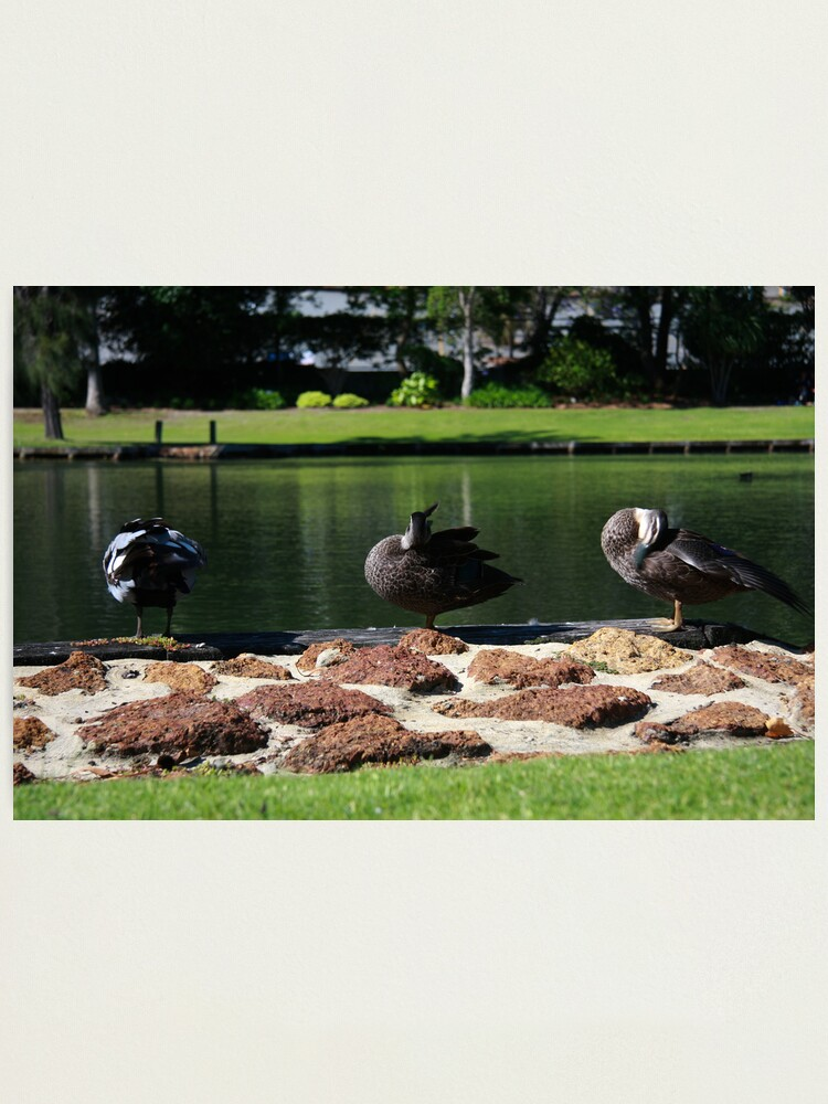 Alternate view of Ducks standing in a line Photographic Print