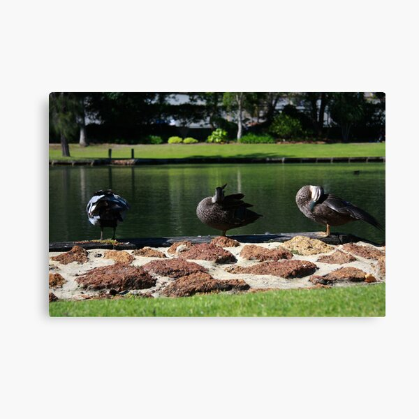 Ducks standing in a line Canvas Print