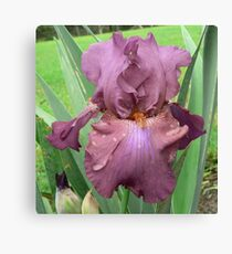 "Bearded Iris - ""Lady Marilyn"" Canvas Print"