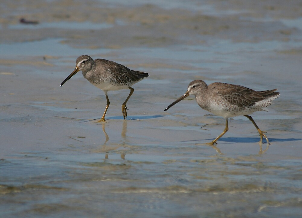 Two Dowitchers by Karen  Moore