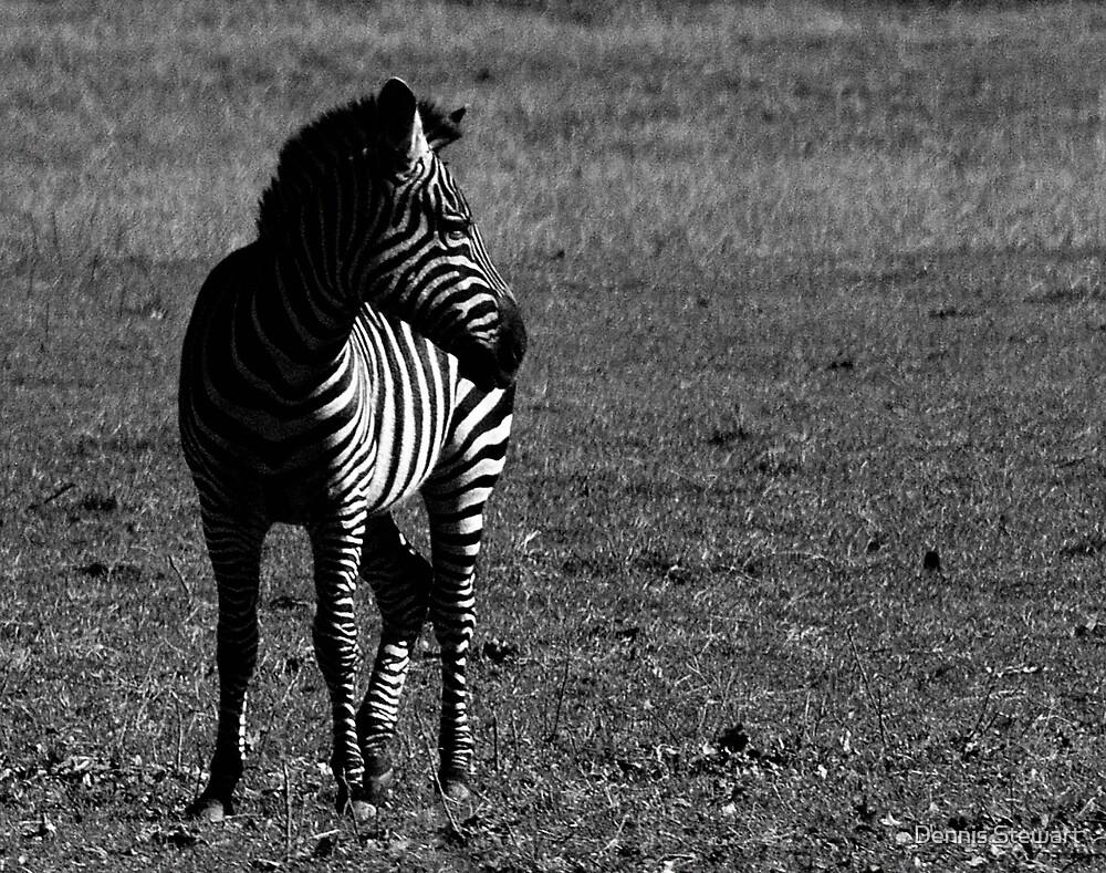 Zebra  by Dennis Stewart