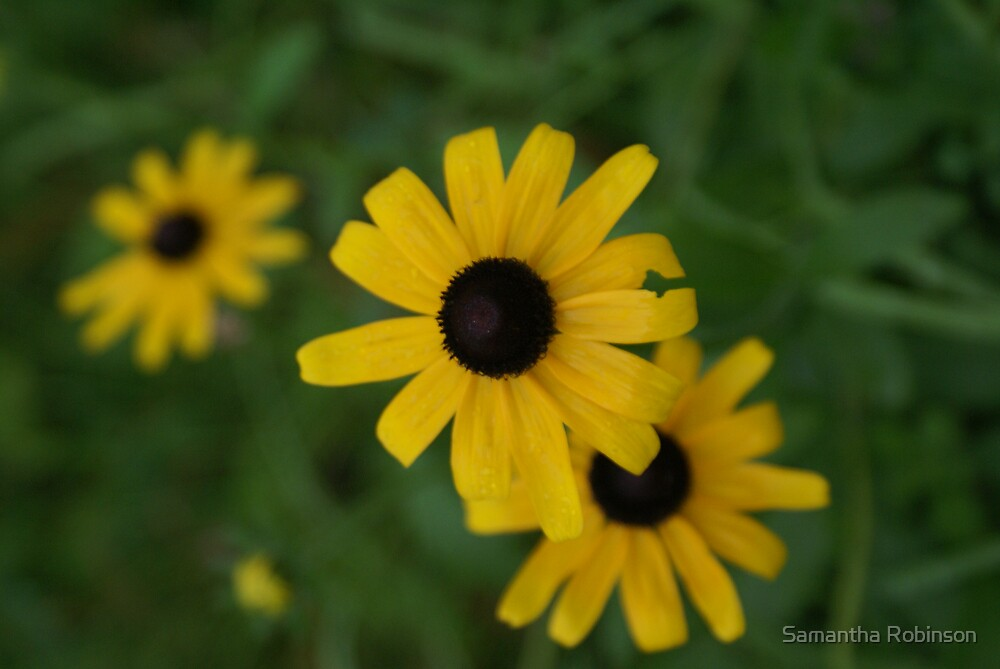 Brown-eyed Susans by Samantha Robinson