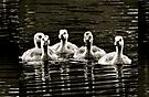 A row of five baby geese swimming along by Beth Brightman