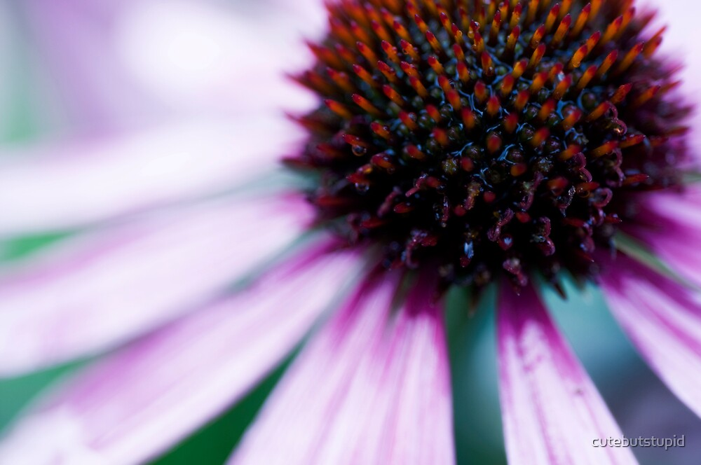 echinacae by cutebutstupid