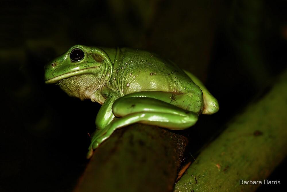 Green Tree Frog-9355 by Barbara Harris
