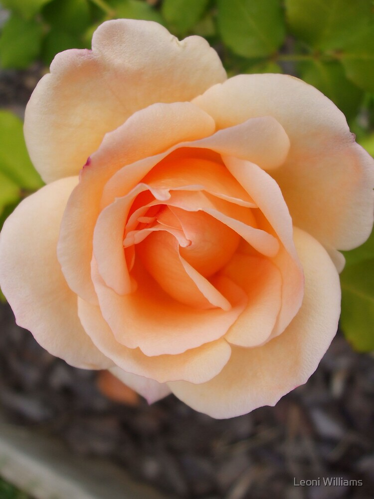 Apricot Nectar by Leoni Williams