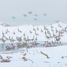 Canada Geese by Brendan Buckley
