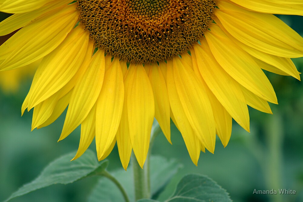 Sunflower Twist by Amanda White