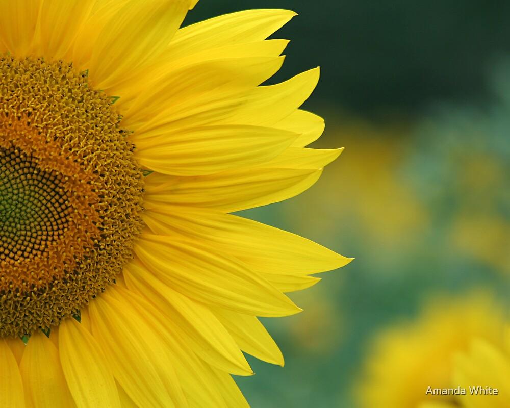 Sunflower Twist 2 by Amanda White