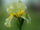 Yellow Iris by Sandy Keeton