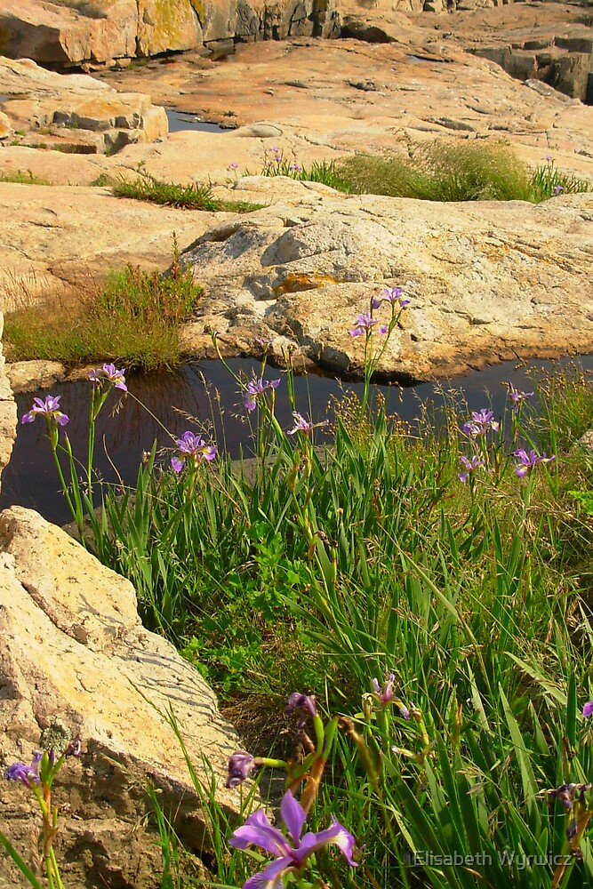 Wild Iris by Elisabeth Wyrwicz
