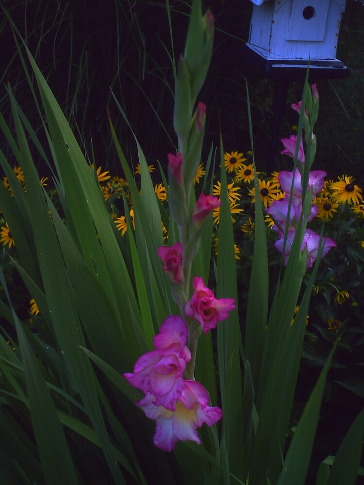 Gladiolus by grannyjune