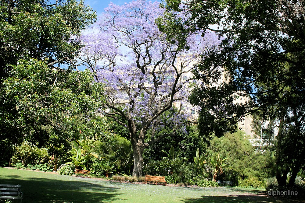 Jacaranda in flower. by elphonline