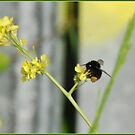Busy Bee by dOlier