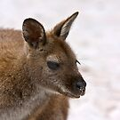Beach Wallaby  by Ross Jardine