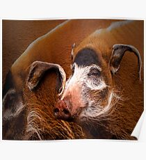 Zoology - Red River Hog Poster