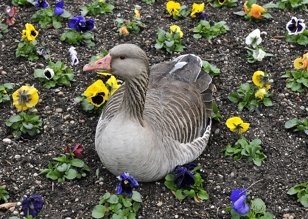 Duck in the flowerbed by Klaus Offermann