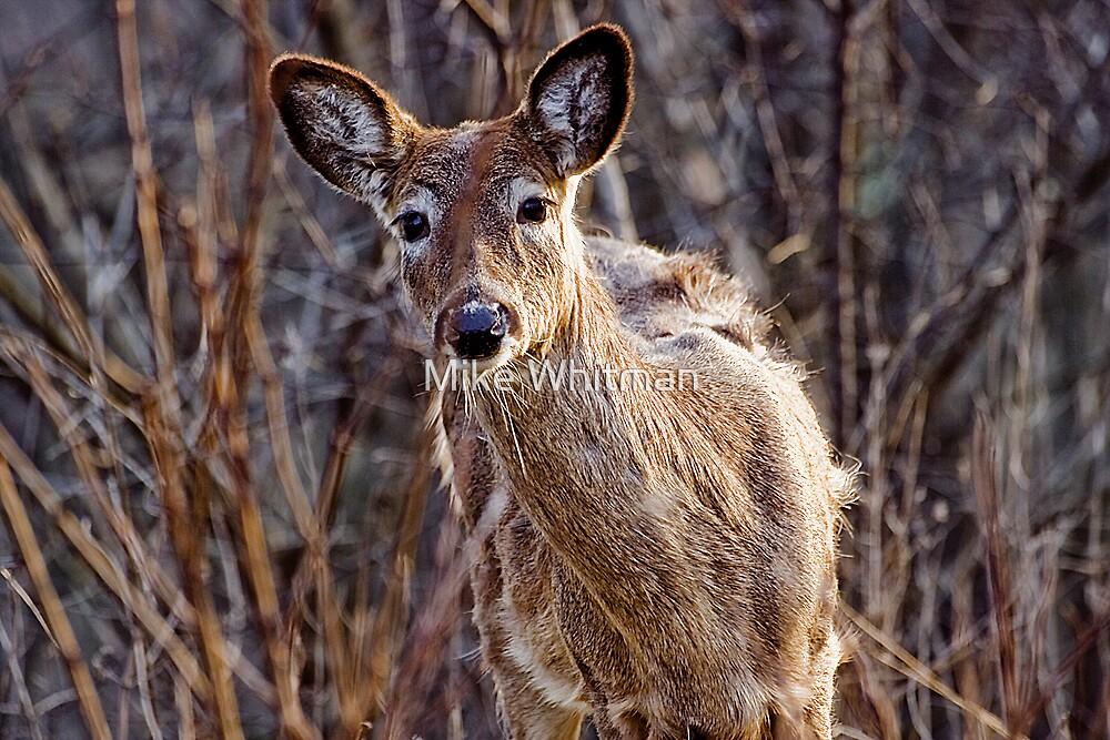 Deer Oh Deer!! by Mike Whitman