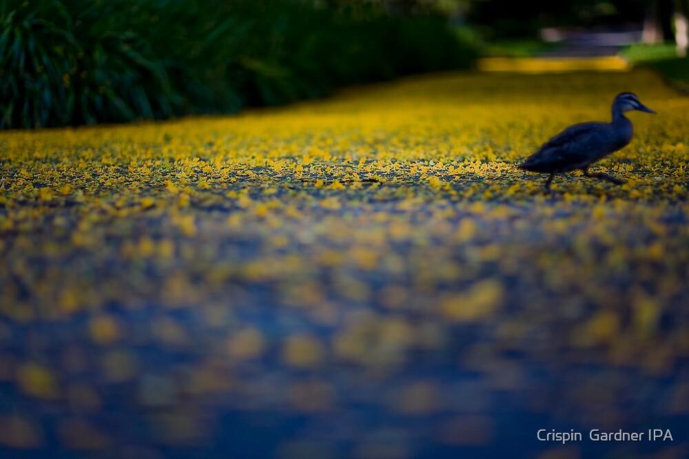 Ducking Across The Yellow Brick Road. by Crispin  Gardner IPA