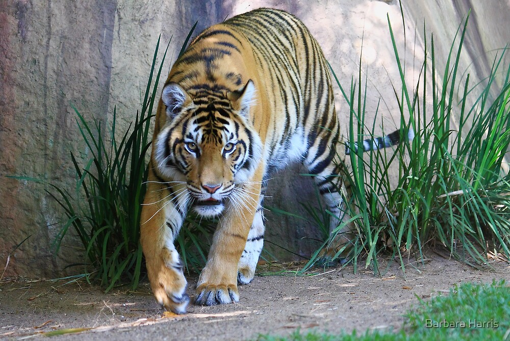Tiger on the Prowl by Barbara Harris