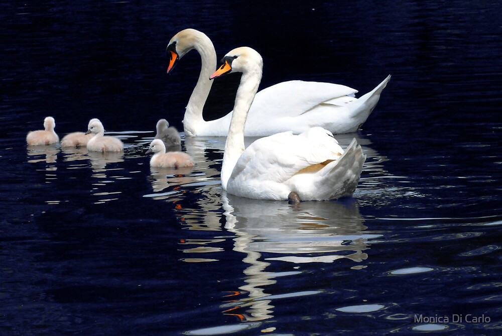 Swans Family by Monica Di Carlo