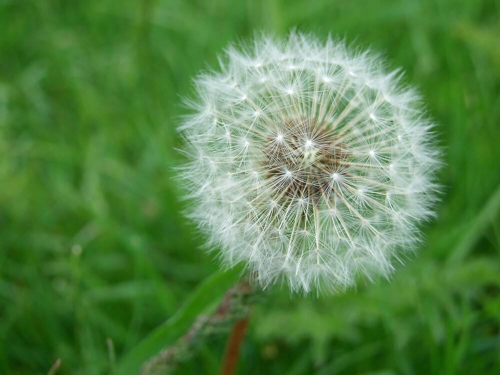 Dandelion clock/meadow (2) by sassygirl