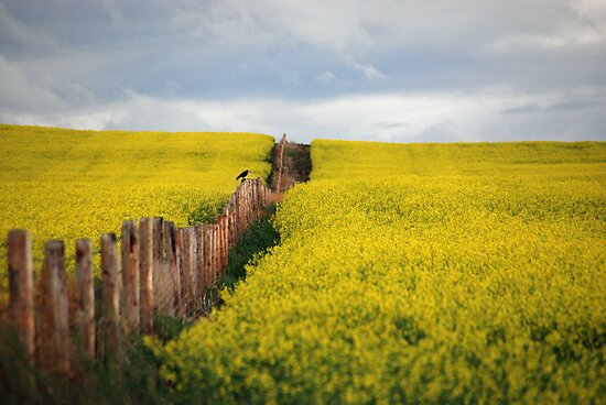 Crow watches over canola  by Judy Grant