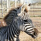 Zebra At The Zoo by R&PChristianDesign &Photography