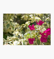 Lush vibrant purple bougainvillea bush flowers blossoming in sun closeup Photographic Print