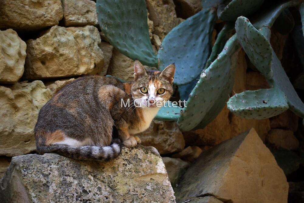 Gozitan cat 1 by M G  Pettett