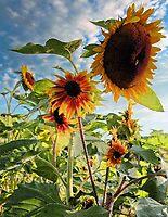 Sunflowers - Morning Sun by T.J. Martin